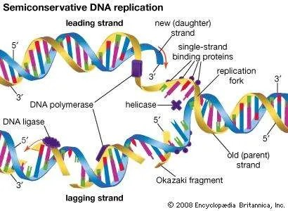 Semiconservative DNA replication genetics Britannica