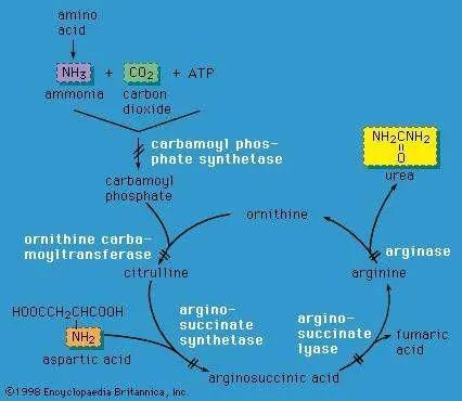 Urea cycle biochemistry Britannica - urea cycle