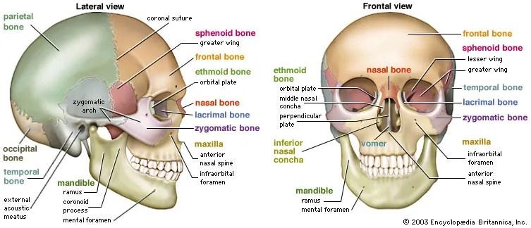 Skull Definition Anatomy Function Britannicacom