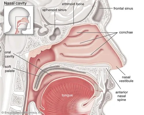 olfactory system Parts, Function,  Organs Britannica