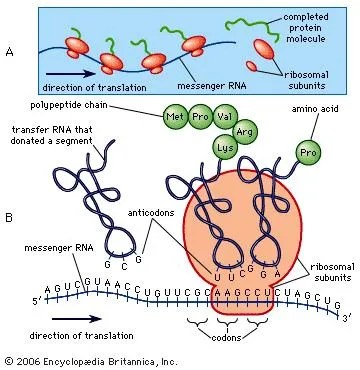 Messenger RNA genetics Britannica