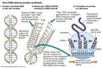 protein: DNA and protein synthesis - Students | Britannica ...