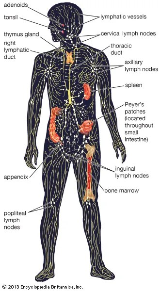 lymphatic system Structure, Function,  Facts Britannica