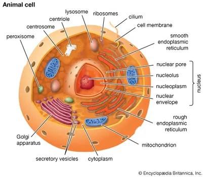 Cell membrane biology Britannica