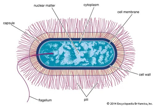 Cell wall cellular structure Britannica