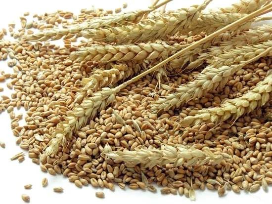 Wheat Plant Britannicacom