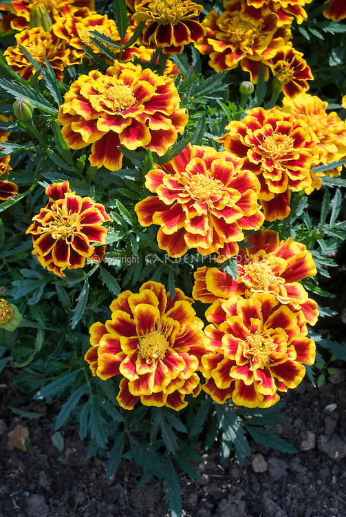 Marigold Annual Flowers Stock Photos - Images | Plant & Flower