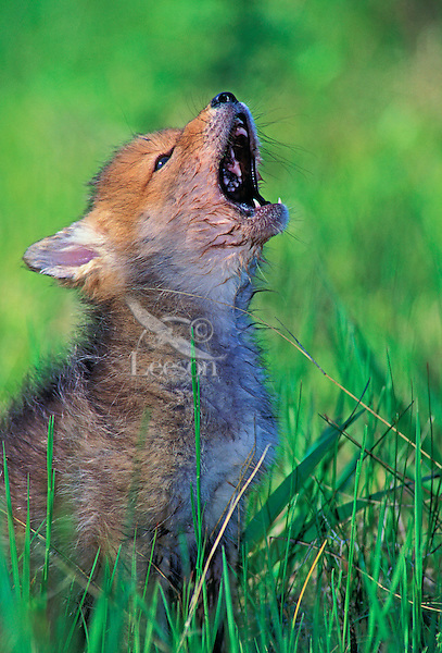 Cute Dog Puppy Background Wallpaper Pictures Coyote Pup Howling 3 Weeks Old Rocky Mountains Spring