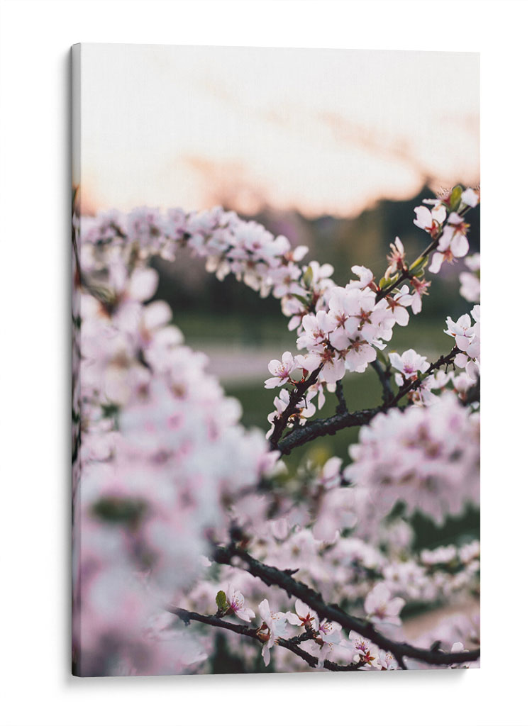 Flores de cerezo - Canvas Lab