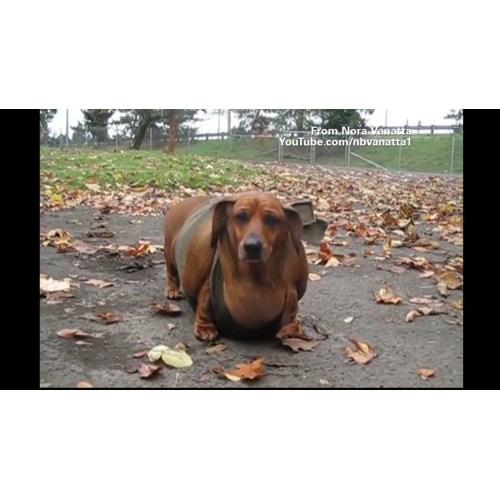 Medium Crop Of Fattest Dog In The World