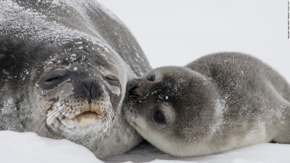 Mermaid Wallpaper Cute Seal Pup Kiss Photo Melts Hearts Cnn