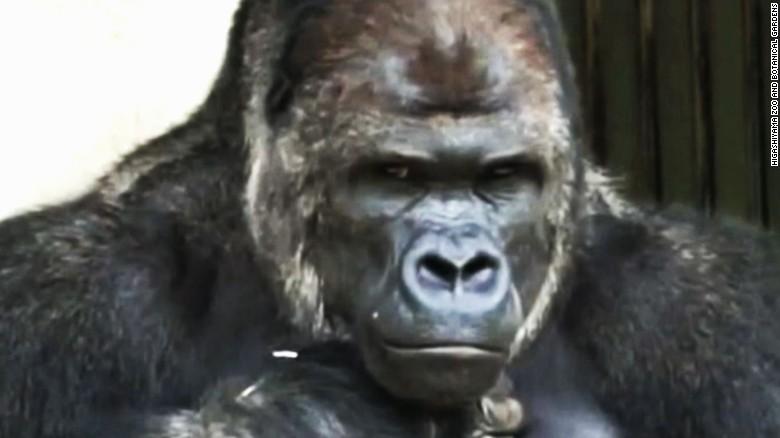 Cute Gorilla Wallpapers Surprisingly Handsome Male Gorilla Excites Women Cnn