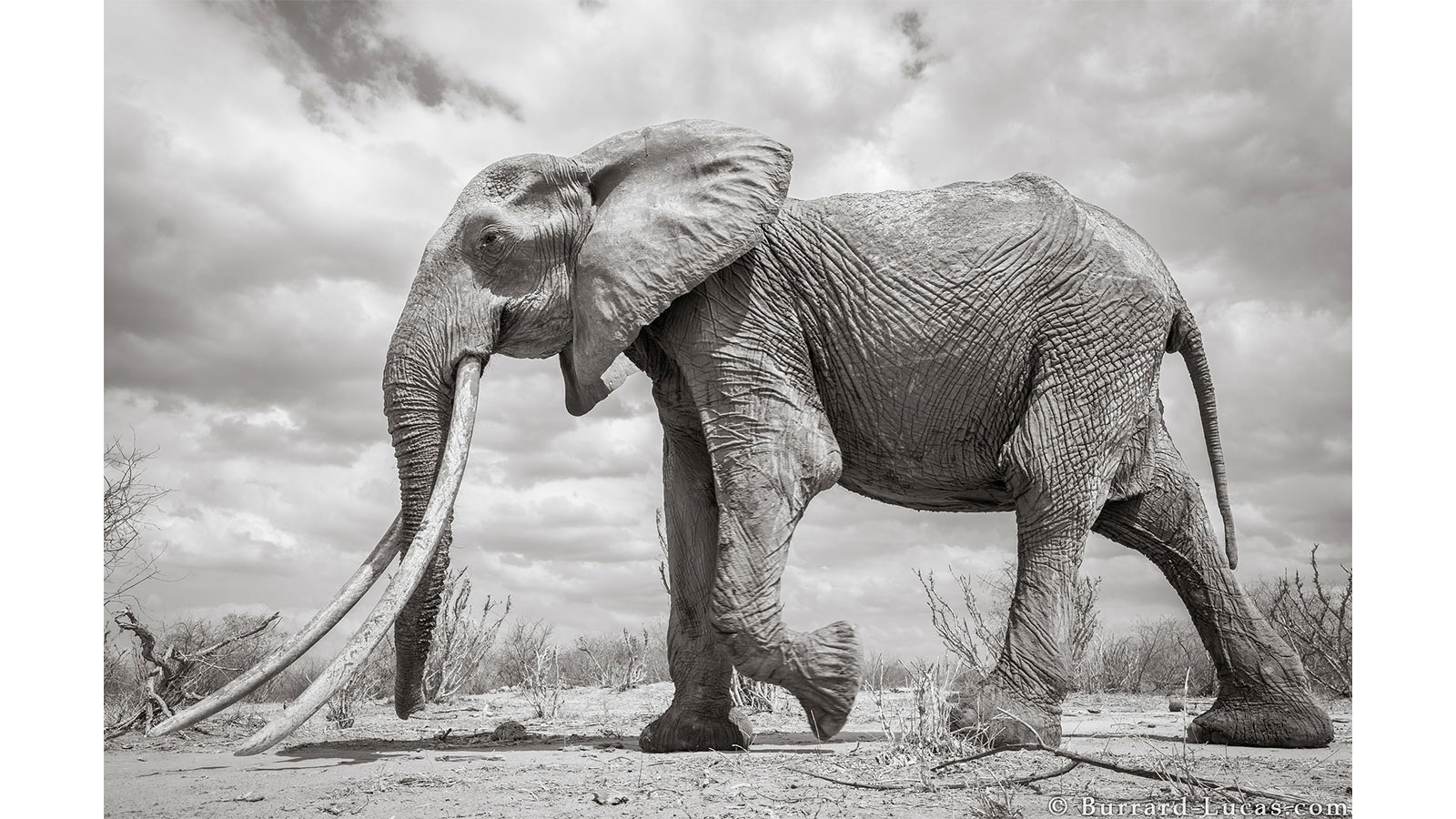 Photos éléphants Elephant Queen In Kenya See Incredible Pictures Of Rare Big
