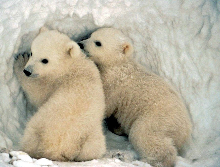 Animal Planet Wallpaper Polar Bear On Ice Wallpaper Animal Wallpapers 25300