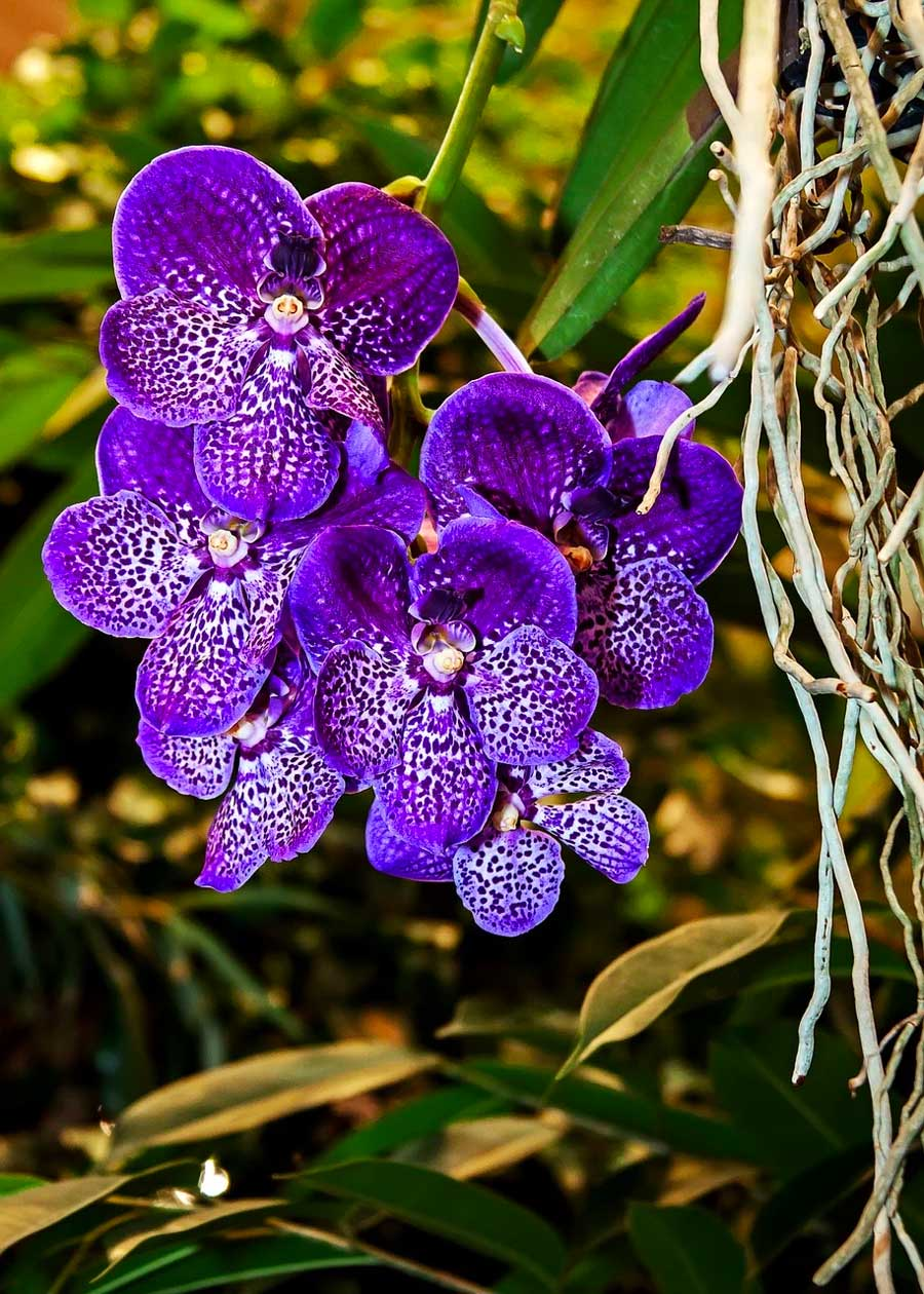 Vanda Orchid How To Grow And Care For Vanda Orchids