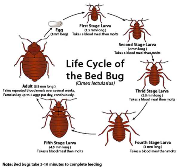 Bed Bug Life Cycle - Life Stages of Bed Bugs