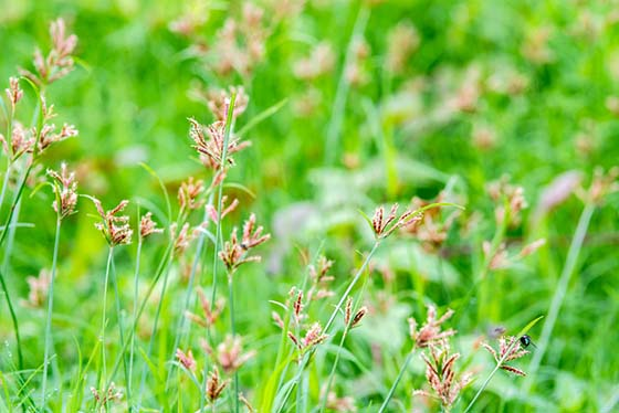 Nutsedge (Nut Grass) Weed Prevention How To Prevent Nutsedge