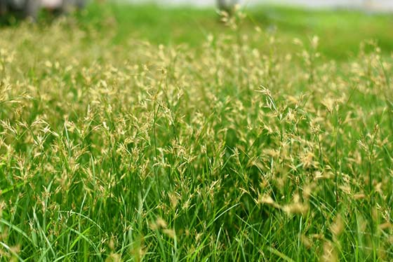 How to Get Rid of  Kill Nutsedge (Nut Grass) Nutsedge Treatment
