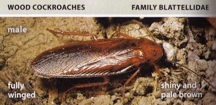 All About Roaches Cockroach Facts, Types of Roaches, Top Roach