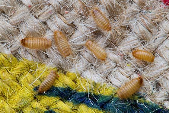 how to get rid of rug beetles