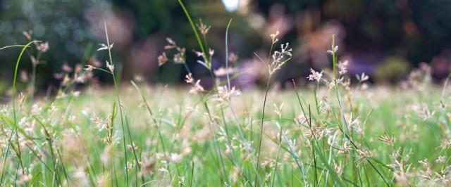 Nutsedge (Nut Grass) Killer Herbicide Products