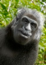 Gorilla With Down Syndrome