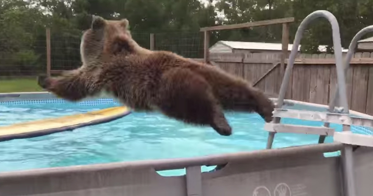Grizzly Bear Climbs The Ladder And Dives Into Pool I Can
