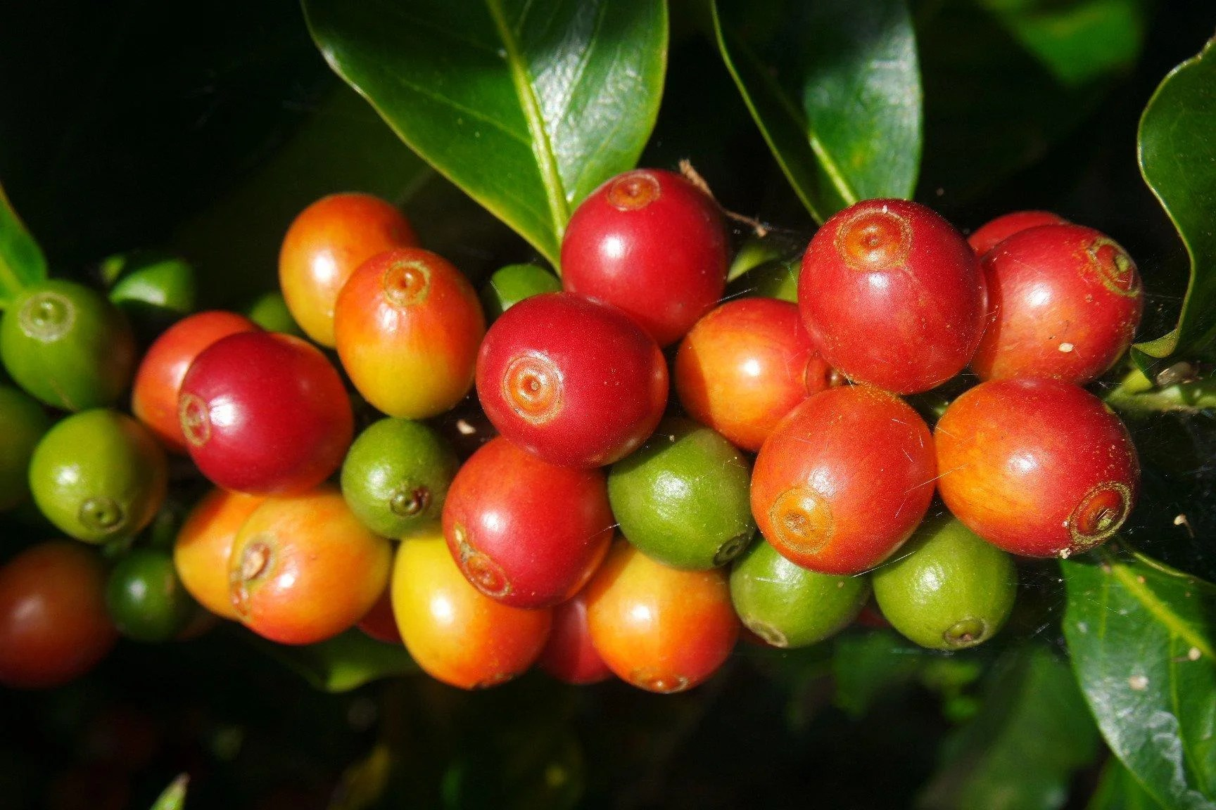 Costa Coffee Arabica Robusta Single Origin Arabica Coffee Beans From Costa Rica El