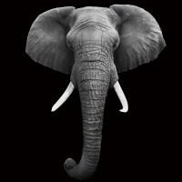 Wall Glass Art - Elephant - Head b&w | Buy at Europosters.eu