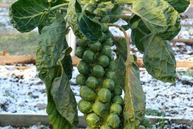 6. Брюссельская капуста горчица, еда, кешью, природа, удивительные факты