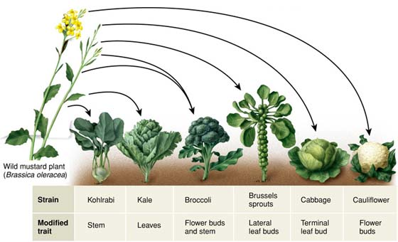 Kale, Broccoli, Brussels Sprouts, And Cabbage Are All The Same Species