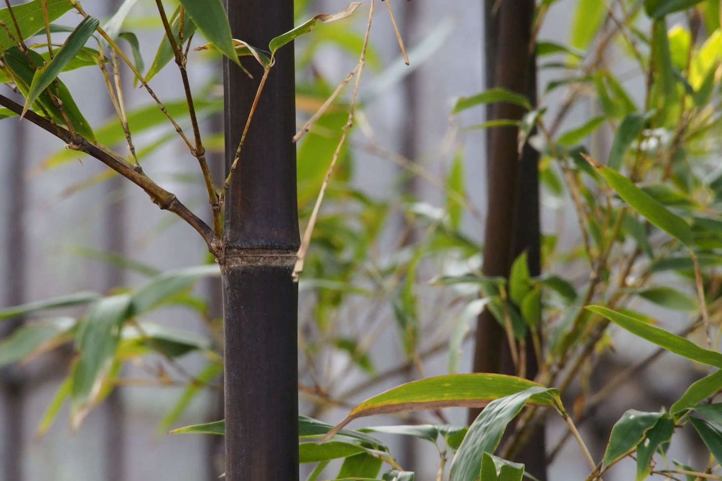 Phyllostachys Nigra In Pots Bamboo The Re Think Gardenista