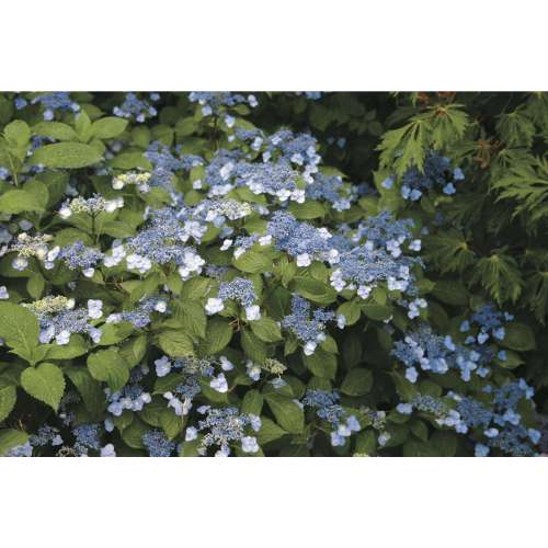 Medium Crop Of Hydrangea Not Blooming