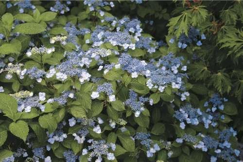 Medium Of Hydrangea Not Blooming