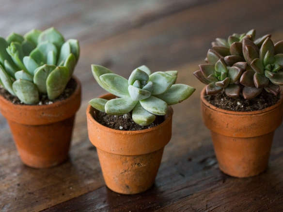 Succulents Explained How to Identify and Grow 12 Favorites - Gardenista