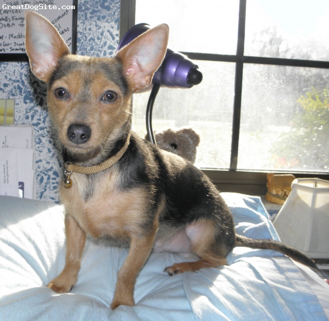 A photo of a 9mo old, Blue  Tan, Chorkie - Male CKC registered