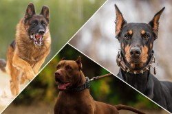 Small Of Calm Dog Breeds