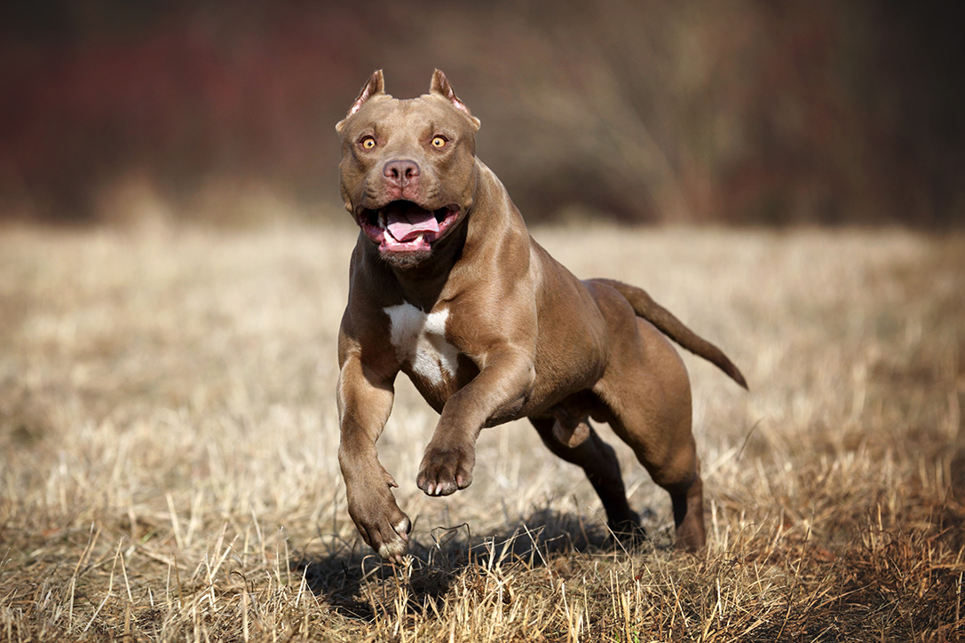 Pitbulls And Girls Wallpaper 12 Best Guard Dog Breeds For Protection Hiconsumption