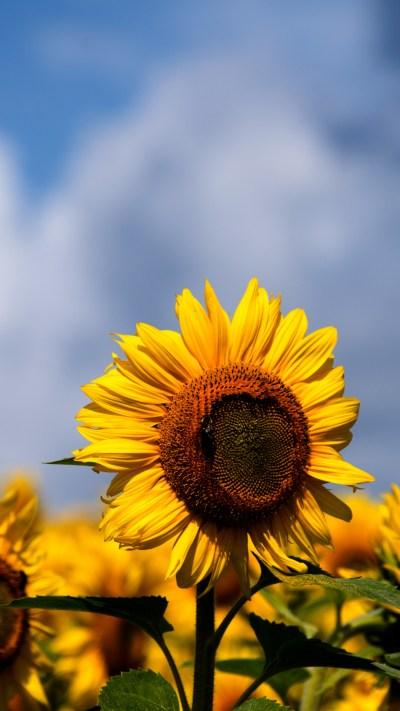 Sunflowers iPhone Wallpaper - iDrop News