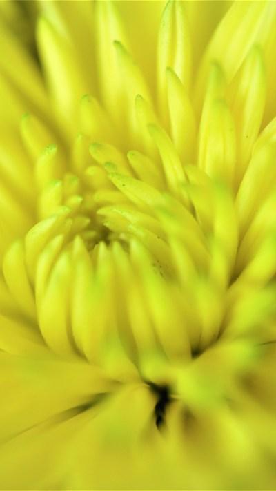 Happy Yellow Flower iPhone Wallpaper - iDrop News