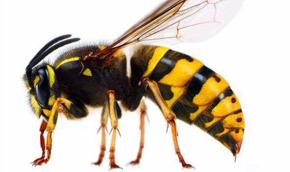 The Wonder Of Wasps An Essential Part Of Garden Life Uk
