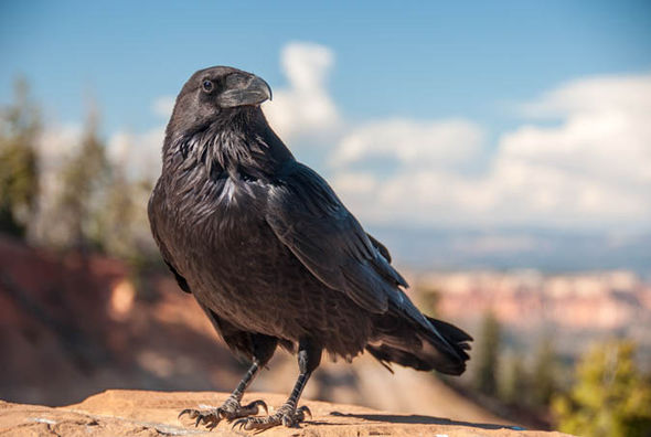 Celtic Wallpaper Hd Ten Things You Never Knew About Ravens Express Co Uk