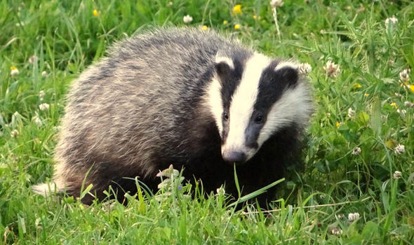 Cute Baby Hedgehog Wallpaper Planned Cull Of Badgers Is At Risk As Vet Organisation Get