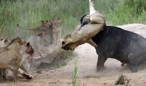 Lion Impaled By Horn Of Buffalo In South African Safari