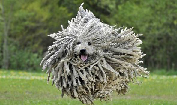 Komondor Dog Breed Has The Appearance Of A Mop Nature