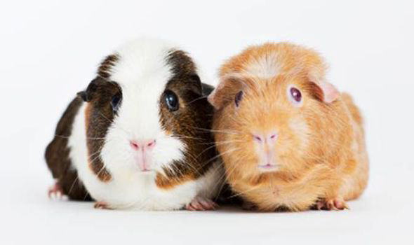 Cute Piggies Wallpaper Pampered Pets Should You Give Your Guinea Pig Vitamin C