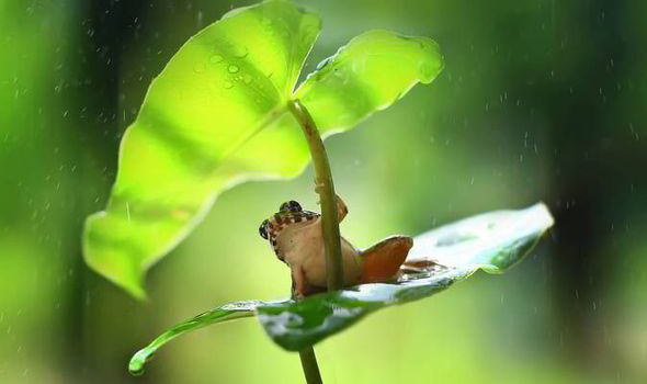 Girl Under Rain Live Wallpaper Raindrops Keep Falling On My Head Adorable Frog Uses Leaf