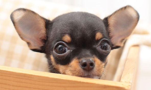 Pregnant Chihuahua Dies After Owner Dumps Her In Box