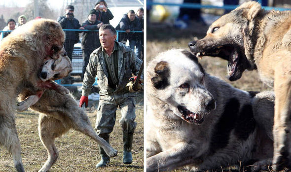 Dog Fighting In Kyrgyzstan Horrifying Reality Of Cruel