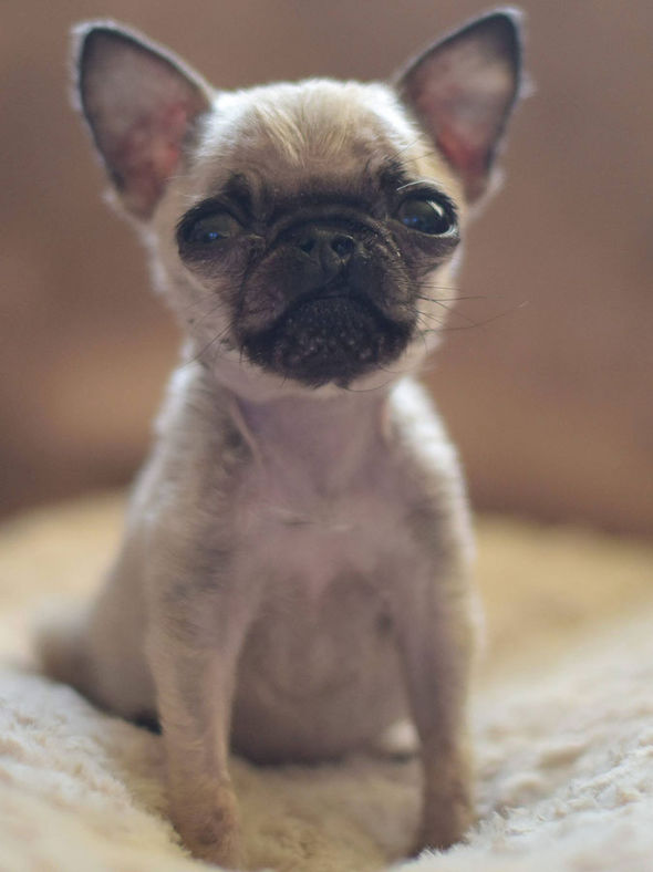 Really Cute Dog Wallpaper Britain S Smallest Dog Pip The Tiny 4in Pug Is Smaller